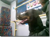 Milo on a bus